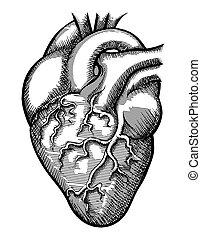 矢量, 人的 心臟