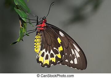 石標, birdwing 蝴蝶, 栖息, 上, 樹, leaf.