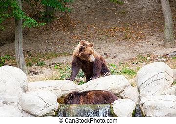 石頭, 布朗, 大, 熊, 木頭,  Kamchatka