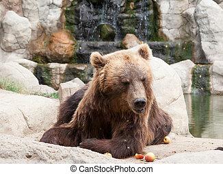 石, ブラウン, 大きい弱気, 木, kamchatka