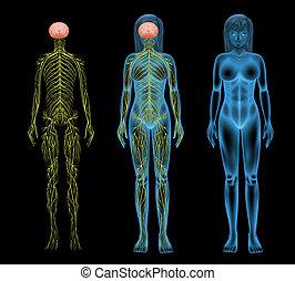 神経系, 女性