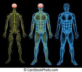 神経質, マレ, システム