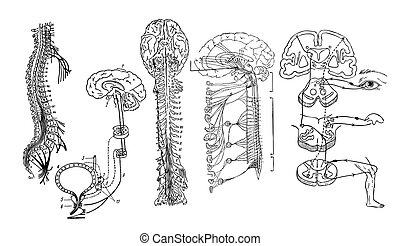 神経質, 中央である, システム, vector.