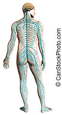 神経質, diagram., システム, 人間