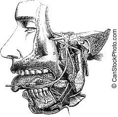 神経, ブランチ, 型, maxillary, ∥そ∥, 劣った, engraving.