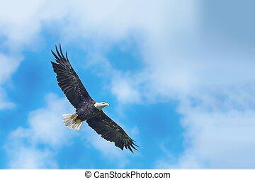 禿的鷹, 在飛行中