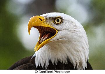 禿的鷹, haliaeetus leucocephalus