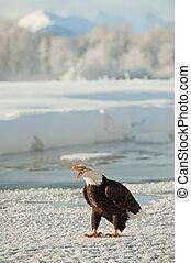 禿頭, 雪, 成人, eagle(haliaeetus, 肖像, leucocephalus)