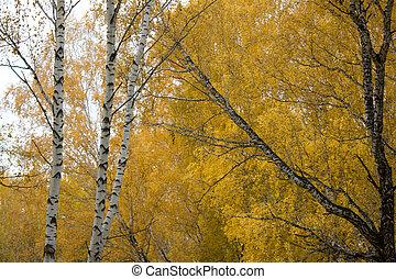 秋の森林, シラカバ