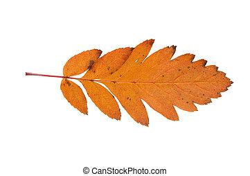 秋リーフ, 隔離された, 上に, 白い背景