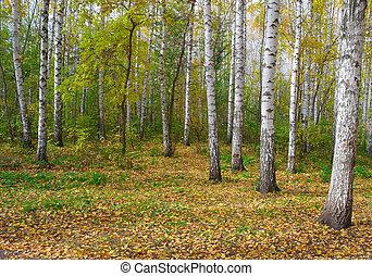 秋天, 小樹林, 樺樹