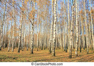 秋天, 小樹林, 陽光, 樺樹