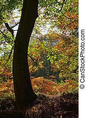秋天, 山毛榉树