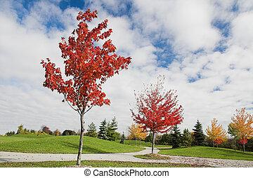 秋天, 楓樹, 年輕, 樹