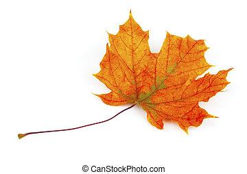 秋天, 槭樹葉, 被隔离, 在懷特上, 背景