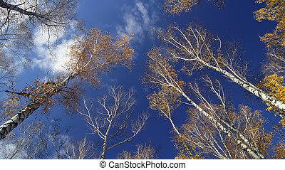 秋天, 樺樹, 天空, grove.