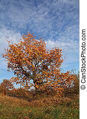 秋天, 橡木, 樹