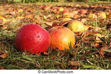 秋天, 蘋果