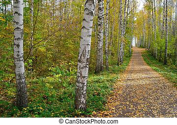 秋天, 路徑, 小樹林, 樺樹