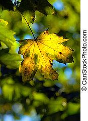 秋天, 離開, 楓樹