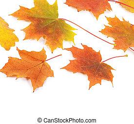 秋季槭樹葉, 被隔离, 在懷特上