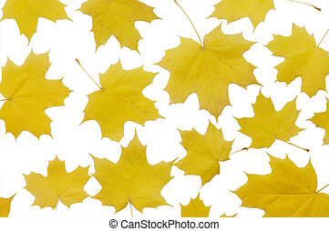秋季槭樹葉, 被隔离, 在懷特上, 背景