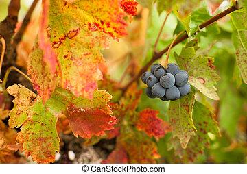秋季, 葡萄园