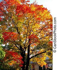 秋, かえで, 木, 中に, 秋, 都市 公園