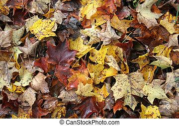 秋, かえで, 林床