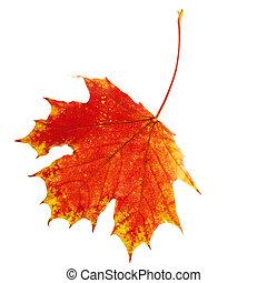 秋, かえで 葉, 隔離された, 白