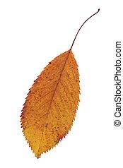 秋, さくらんぼ, 葉, 隔離された, 薄れていった