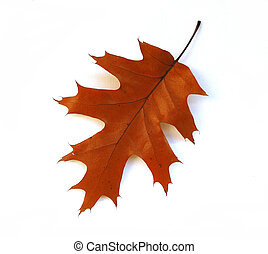 秋, オーク葉, 白, 背景