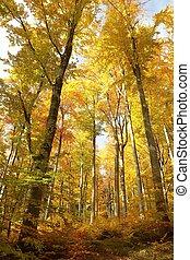 秋, ブナ, 森林, 絵のよう