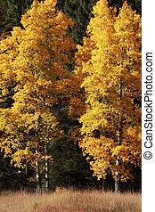 秋, ポプラ, 木