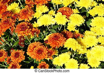 秋, ママ, 花, カラフルである