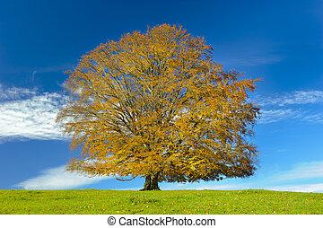 秋, 大きい, 単一, 木, ブナ