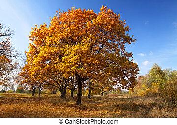 秋, 木立ち, lanscape, オーク