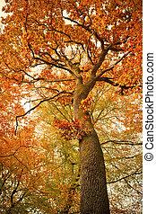 秋, 木, オーク, 森林