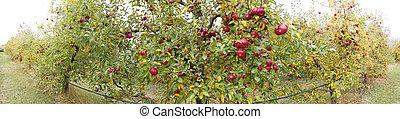 秋, 果樹園, パノラマ, アップル