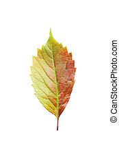 秋, 白, 葉, 隔離された, 背景