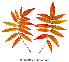 秋, 葉, 白, 隔離された, 背景