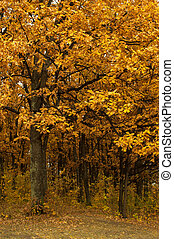 秋, oak-tree, 葉