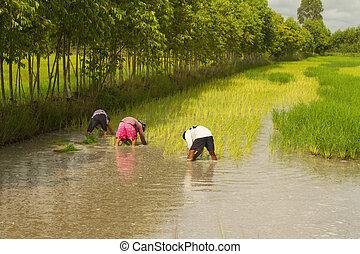 种植, 農田, 農夫, 泰國, 稻田