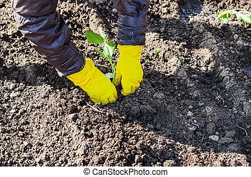 种植, 陸地, 犁, 新芽, 農夫, 卷心菜