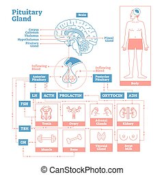 科学, 腺, イラスト, 内分泌, system., ベクトル, 脳下垂体, 医学, diagram.