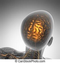 科学, 解剖学, の, 人間の頭脳, 中に, x 線
