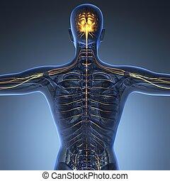 科学, 解剖学, の, 人間の頭脳