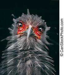 秘書の 鳥, 肖像画