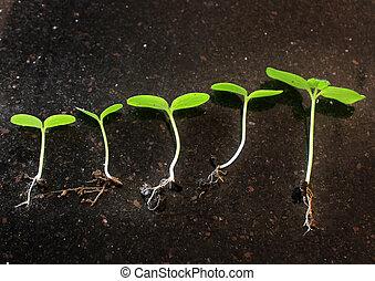 秧苗, growing., 植物, 增長, stages., 秧苗, 成長, periods.on, 黑色, 下降