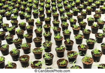 種植園, 年輕, 秧苗